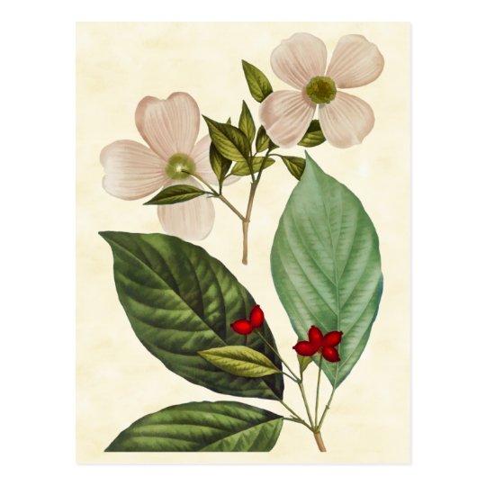 Vintage Botanical Dogwood Tree Illustration Postcard