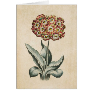Vintage Botanical Floral Auricula Illustration Card