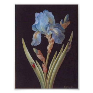 Vintage Botanical-Flower-Blue Iris-on-Black Poster
