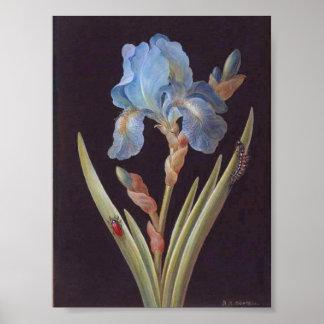 Vintage Botanical-Flower-Blue Iris-on-Black Poster