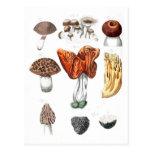 Vintage Botanical Mushrooms Post Card