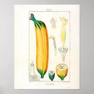 Vintage Botanical Poster - Banana Fruit