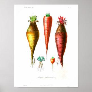 Vintage Botanical Poster - Carrots