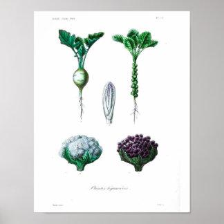Vintage Botanical Poster - Cauliflower