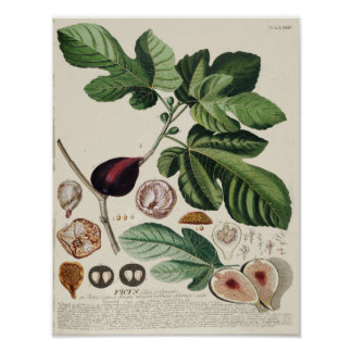 Vintage Botanical Poster - Fig