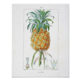 Vintage Botanical Poster - Pineapple