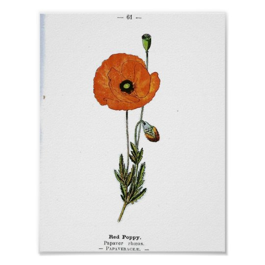 Vintage Botanical Poster - Red Poppy Flower
