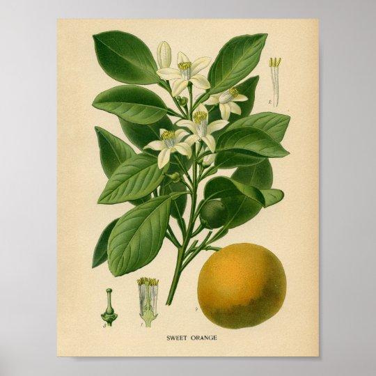 Vintage Botanical Poster - Sweet Orange