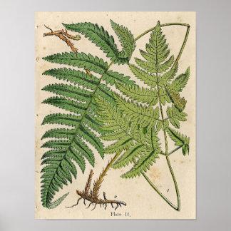 Vintage Botanical Print - Ferns