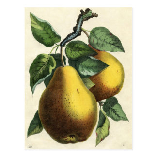 Vintage Botanical Print - Pears Postcard