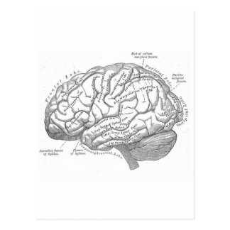 Vintage Brain Anatomy Postcard