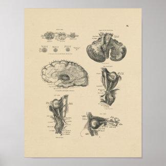 Vintage Brain Nerves Anatomy 1880 Print