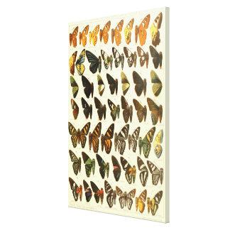 Vintage Butterfly Species Diagram Canvas Print