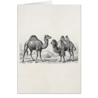 Vintage Camel Illustration - Retro Antique Camels Card