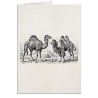 Vintage Camel Illustration - Retro Antique Camels Note Card