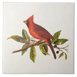 Vintage Cardinal Song Bird Illustration - 1800's