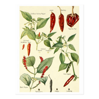 Vintage chillies illustration postcard recipe card