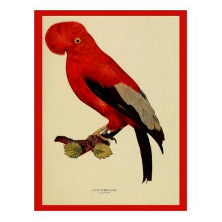 Vintage cock-of-the-rock color litho photo postcard
