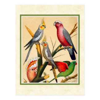 Vintage Cockatiels and Cockatoo Postcard