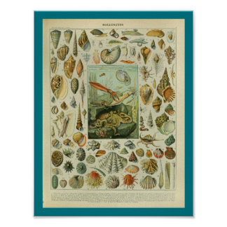 Vintage Color Sealife Shells Print