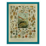 Vintage Colour Sealife Shells Print