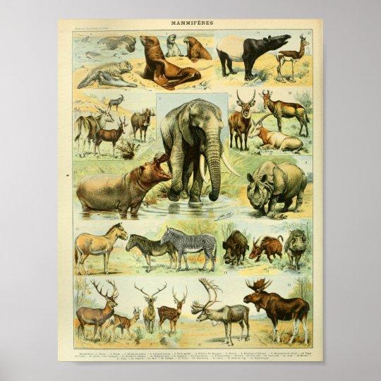 Vintage Colour Wildlife Mammals Print