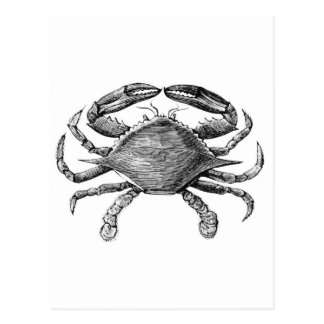 Vintage Crab Drawing Postcard