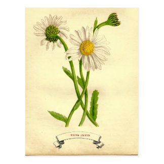 Vintage Daisy Botanical Illustration Postcard