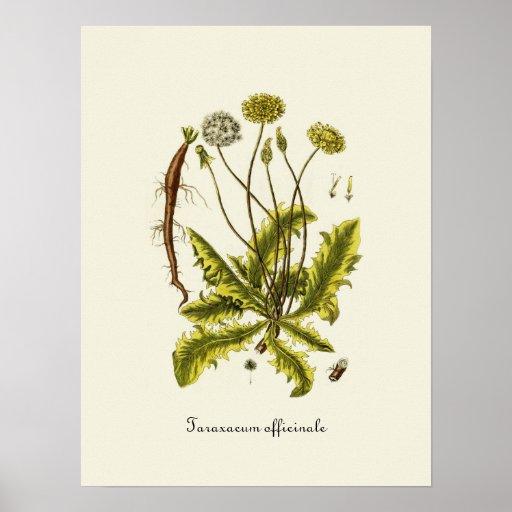 Vintage Dandelion Illustration Poster