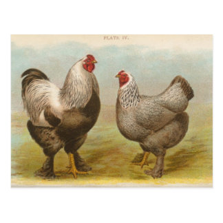 "Vintage ""Dark Brahama Chickens"" Postcard"