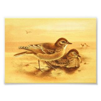 Vintage Desert Larks Couple Illustration Art Photo