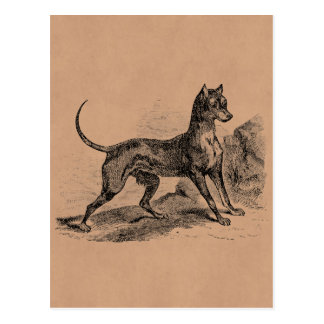 Vintage Doberman Terrier Dog 1800s Dobermans Postcard