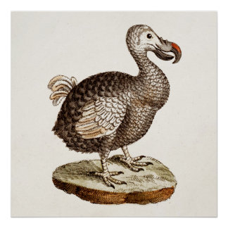 Vintage Dodo Bird Illustration 1700s Dodo Birds Poster