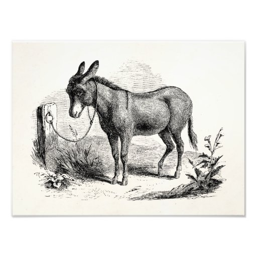 Vintage Domestic Donkey Personalized Retro Donkeys Art Photo