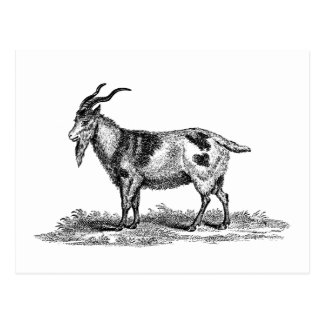 Vintage Domestic Goat Illustration - 1800's Goats Postcard