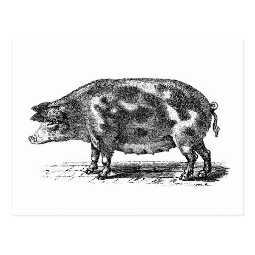 Vintage Domestic Hog Illustration - 1800's Pig Post Card