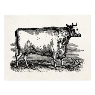 Vintage Durham Cow Bull Personalized Illustration Postcard