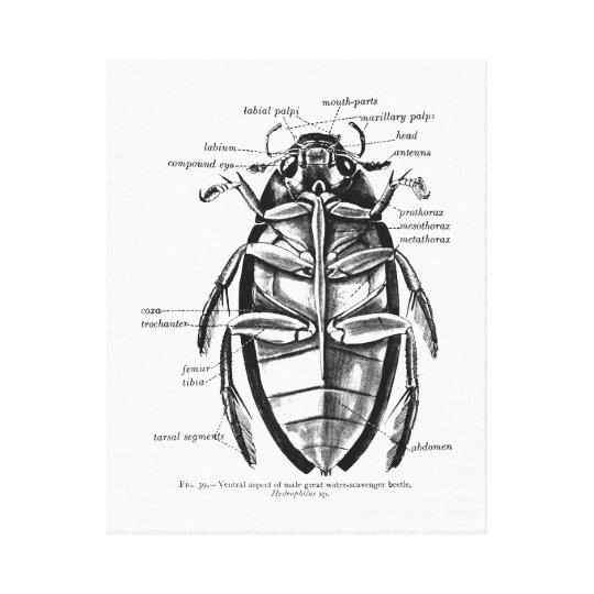 Vintage Entomology Hydrophilidae Scavenger Beetle Canvas Print