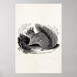 Vintage European Squirrel 1800s Squirrels Poster