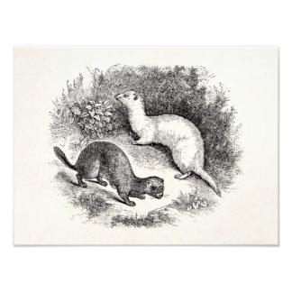 Vintage Ferret 1800s Ferrets Weasels Minks Art Photo