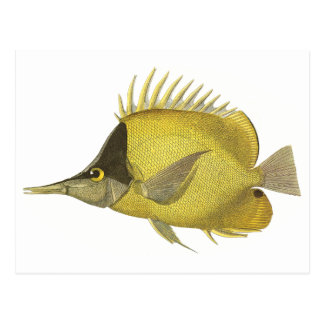 Vintage Fish, Yellow Tropical Chelmon Longirostris Postcard