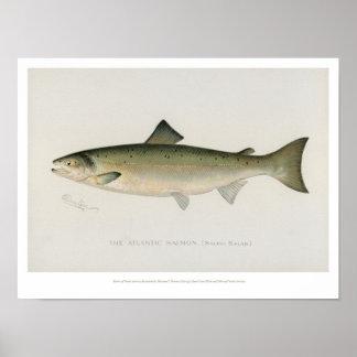 Vintage Fishes - Atlantic Salmon Poster