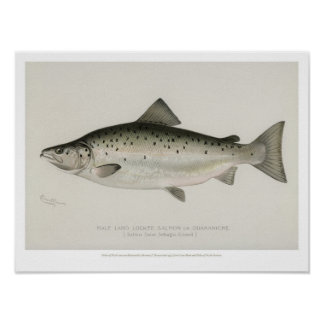 Vintage Fishes - Land Locked Salmon Poster