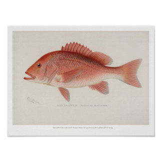 Vintage Fishes - Red Snapper Poster