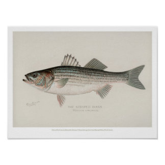 Vintage Fishes - Striped Bass Poster