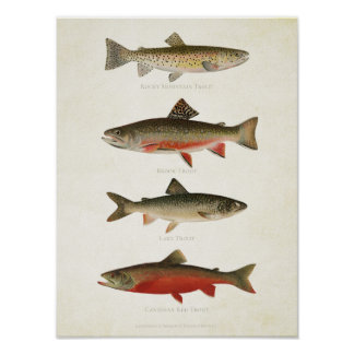 Vintage Fishes - Trouts Poster