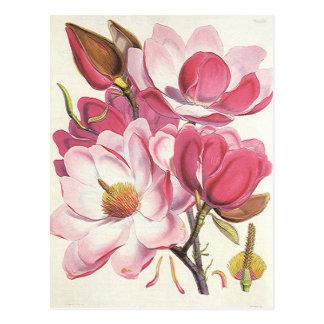 Vintage Floral, Blooming Pink Magnolia Flowers Postcard