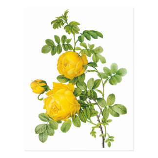 Vintage Floral Flowers, Yellow Roses by Redoute Postcard