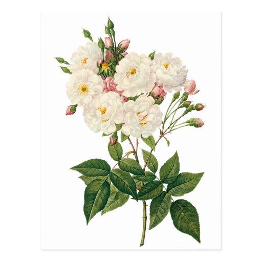 Vintage Flowers Floral Blush Noisette Rose Redoute Post Cards