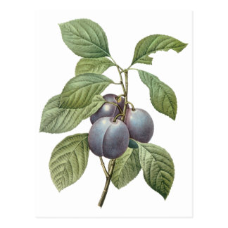 Vintage Food Fruit, Purple Garden Plums by Redoute Postcard